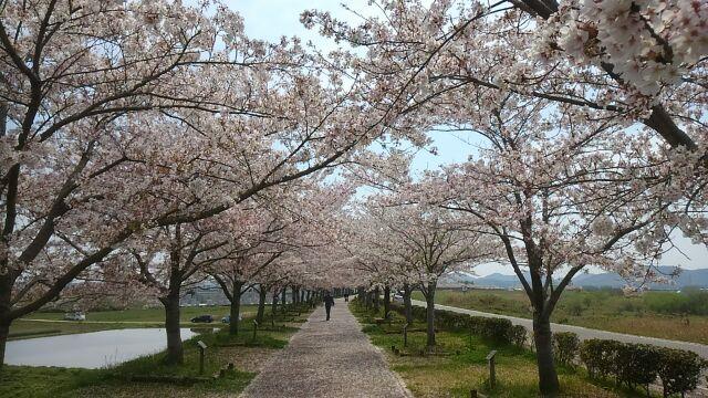 小野市桜づつみ